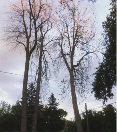 large dead Ash trees bessbrough
