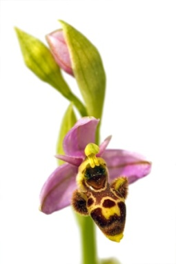 orchid20or20insect